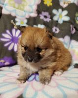 Pomeranian Puppies for sale in Nocona, TX 76255, USA. price: NA
