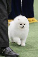 Pomeranian Puppies Photos