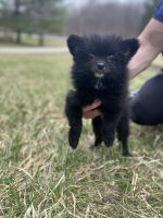 Pomeranian Puppies for sale in Novelty, OH 44072, USA. price: NA