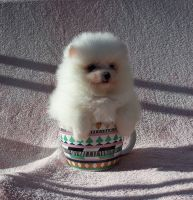 Pomeranian Puppies for sale in Royal Palm Beach, FL, USA. price: NA