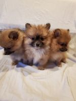 Pomeranian Puppies for sale in Chico, CA, USA. price: NA