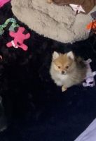 Pomeranian Puppies for sale in San Jose, CA, USA. price: NA