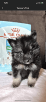 Pomeranian Puppies for sale in Diamond Bar, CA, USA. price: NA