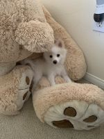 Pomeranian Puppies for sale in Laguna Beach, CA 92656, USA. price: NA