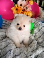 Pomeranian Puppies for sale in Alpine, UT 84004, USA. price: NA
