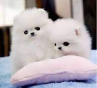 Pomeranian Puppies for sale in Oxnard, CA, USA. price: NA