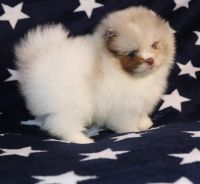 Pomeranian Puppies for sale in 1111 Army Navy Dr, Arlington, VA 22202, USA. price: NA