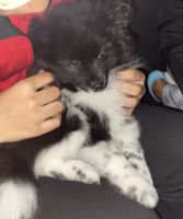 Pomeranian Puppies for sale in Harrisburg, PA, USA. price: NA