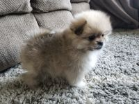 Pomeranian Puppies for sale in Montgomery, IN, USA. price: NA