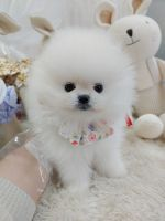 Pomeranian Puppies for sale in Seoul Garden Way, Valley, AL 36854, USA. price: NA