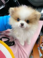 Pomeranian Puppies for sale in Grand Rapids, MI, USA. price: NA