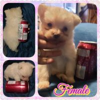 Pomeranian Puppies for sale in South Point, OH 45680, USA. price: NA