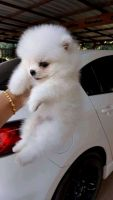 Pomeranian Puppies for sale in Louisville, KY, USA. price: NA