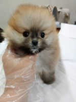 Pomeranian Puppies for sale in Chino Hills, CA, USA. price: NA