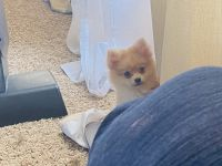 Pomeranian Puppies for sale in Cameron, MO 64429, USA. price: NA