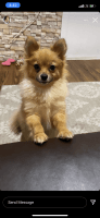 Pomeranian Puppies for sale in Throgs Neck, The Bronx, NY 10465, USA. price: NA