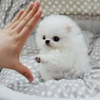 Pomeranian Puppies for sale in Salt Lake City, UT, USA. price: NA
