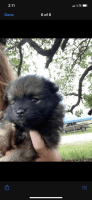 Pomeranian Puppies for sale in Gatesville, TX, USA. price: NA