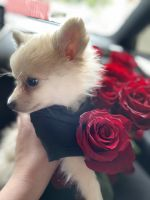 Pomeranian Puppies for sale in Glendale, CA, USA. price: NA