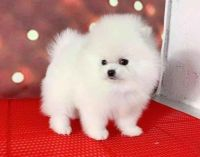 Pomeranian Puppies for sale in Piney Point, FL 34221, USA. price: NA