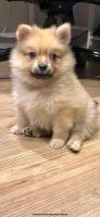 Pomeranian Puppies for sale in Port Royal, SC, USA. price: NA