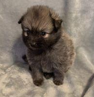 Pomeranian Puppies for sale in Slidell, LA, USA. price: NA