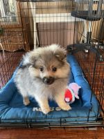 Pomeranian Puppies for sale in Montclair, CA, USA. price: NA
