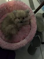 Pomeranian Puppies for sale in Northampton, PA, USA. price: NA