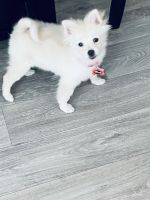 Pomeranian Puppies for sale in Las Vegas, NV, USA. price: NA