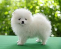 Pomeranian Puppies for sale in Colorado Springs, CO, USA. price: NA