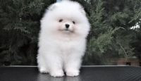 Pomeranian Puppies for sale in Mix Ave, Hamden, CT 06514, USA. price: NA