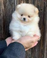 Pomeranian Puppies for sale in 7160 N First St, Fresno, CA 93720, USA. price: NA