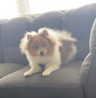 Pomeranian Puppies for sale in 6745 S Langdale St, Aurora, CO 80016, USA. price: NA