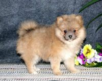Pomeranian Puppies for sale in Denver, CO 80210, USA. price: NA