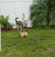 Pomeranian Puppies for sale in Lehigh Acres, FL 33974, USA. price: NA
