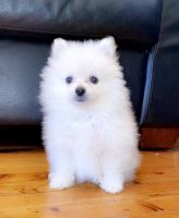 Pomeranian Puppies for sale in Ohio City, Cleveland, OH, USA. price: NA