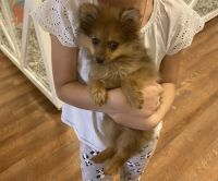 Pomeranian Puppies for sale in Las Vegas, NV 89122, USA. price: NA