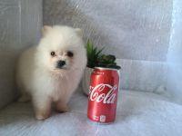 Pomeranian Puppies for sale in Modesto, CA, USA. price: NA