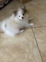 Pomeranian Puppies for sale in Sarasota, FL, USA. price: NA