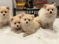 Pomeranian Puppies for sale in Somerset County, NJ, USA. price: NA