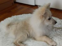 Pomeranian Puppies for sale in Virginia Beach, VA 23455, USA. price: NA