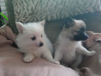 Pomeranian Puppies for sale in Justin, TX 76247, USA. price: NA