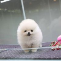 Pomeranian Puppies for sale in NE 122nd Ave, Battle Ground, WA 98604, USA. price: NA
