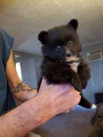 Pomeranian Puppies for sale in Tucumcari, NM 88401, USA. price: NA