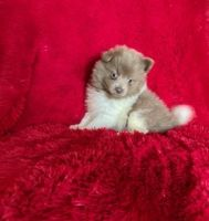 Pomeranian Puppies for sale in Whittier, CA, USA. price: NA