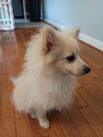 Pomeranian Puppies for sale in Virginia Beach, VA, USA. price: NA