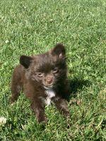 Pomeranian Puppies for sale in Kenosha, WI, USA. price: NA