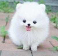 Pomeranian Puppies for sale in Baldwin, GA, USA. price: NA