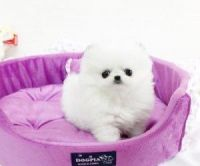 Pomeranian Puppies for sale in Los Angeles, CA 90006, USA. price: NA