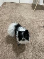 Pomeranian Puppies for sale in Springfield, OR, USA. price: NA